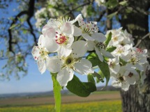 apple-blossom-237548_1280