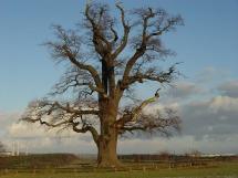 oak-227381_1280